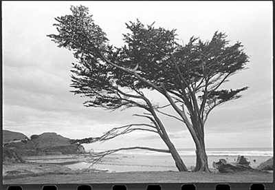 [ TREE ON PACIFIC COAST ]